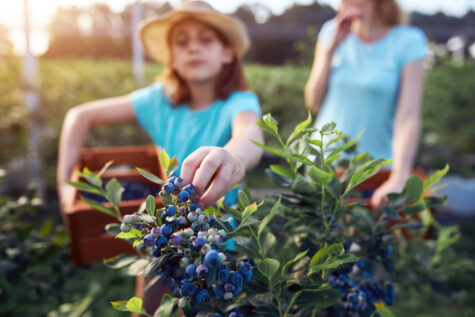 family picking blueberries rich in polyphenols