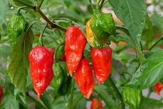 Red and green ghost peppers on the plant