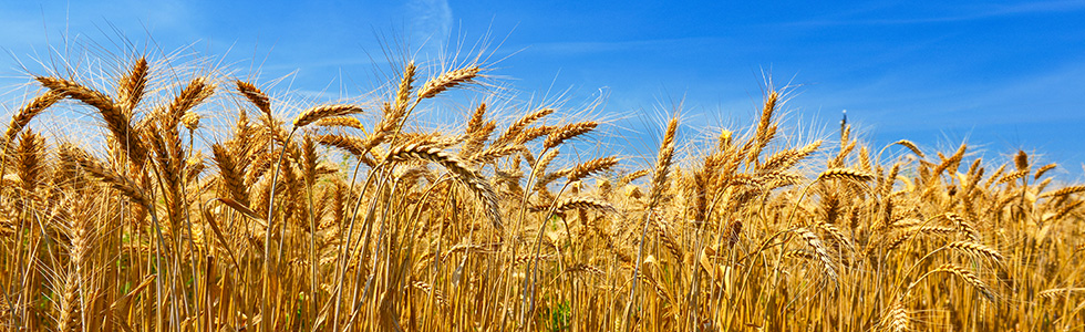 wheat_web
