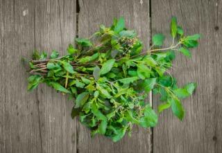 Holy Basil leaf herb ingredient of Thai food.